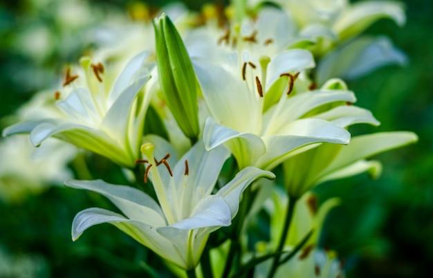 Witte lelie bloementuin