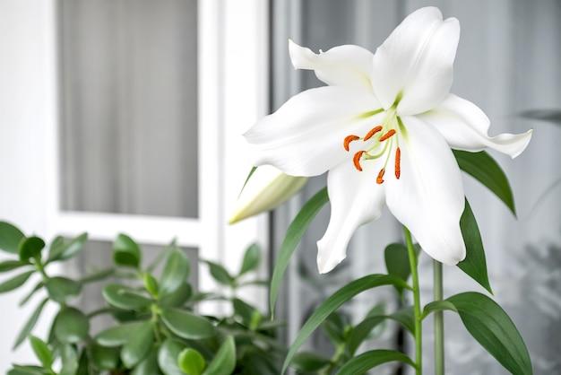 Witte leliebloem bloeit in de zomertuin