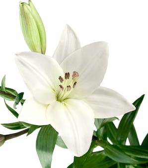Witte leliebloem, huwelijksdecor, dat op wit wordt geïsoleerd