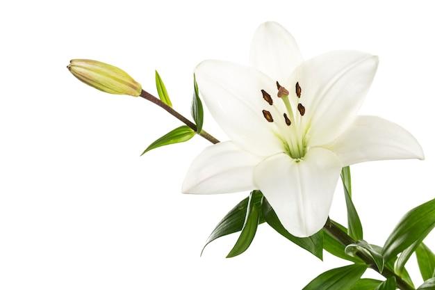 Witte leliebloem