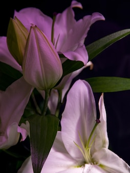 Witte lelies in roze op een donkere achtergrond.