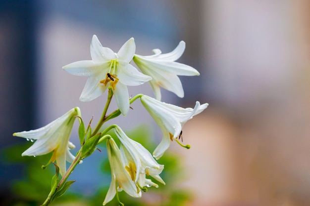 Witte lelies op onscherpe achtergrond. lente en zomer flowers_