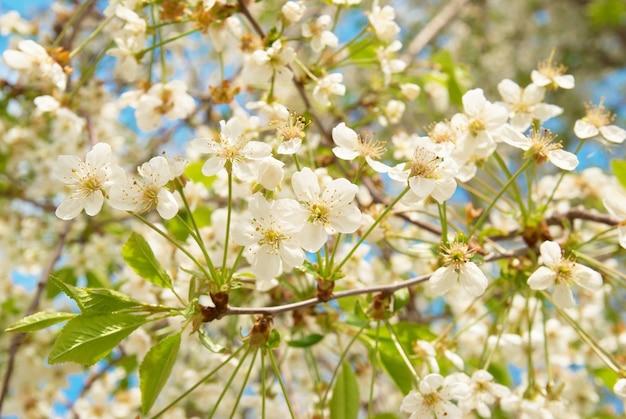 Witte lente kersenboom bloemen met blauwe lucht