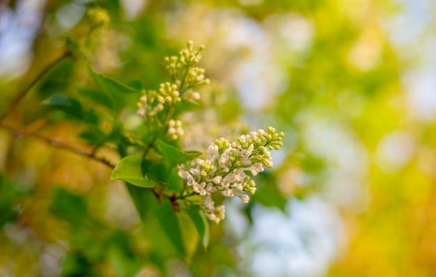 Witte lila bloei
