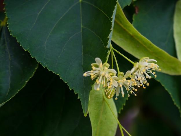 Witte lindebloemen op een achtergrond van groene bladeren. bloemen bloeiend lindehout, gebruikt voor de bereiding van helende thee, natuurlijke achtergrond Premium Foto