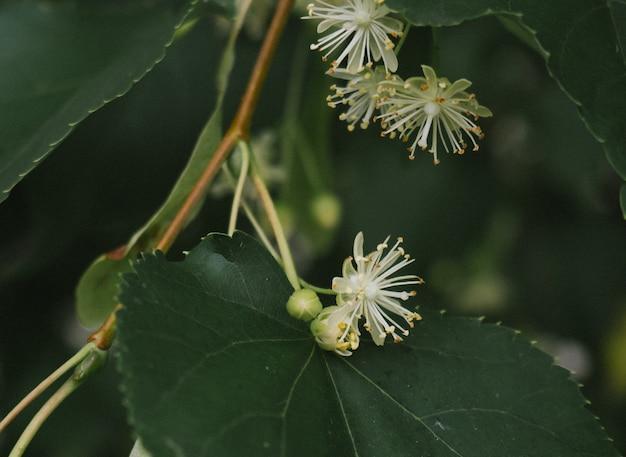 Witte lindebloemen op een achtergrond van groene bladeren. bloemen bloeiend lindehout, gebruikt voor de bereiding van helende thee, natuurlijke achtergrond