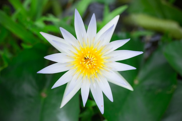 Witte lotus met geel stuifmeel op het oppervlak van de vijver