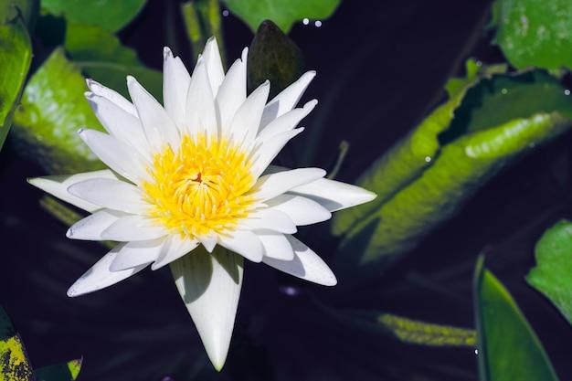 Witte lotusbloem met geel stuifmeel op bloei in de lotusvijver in de zonnige zomerdag.