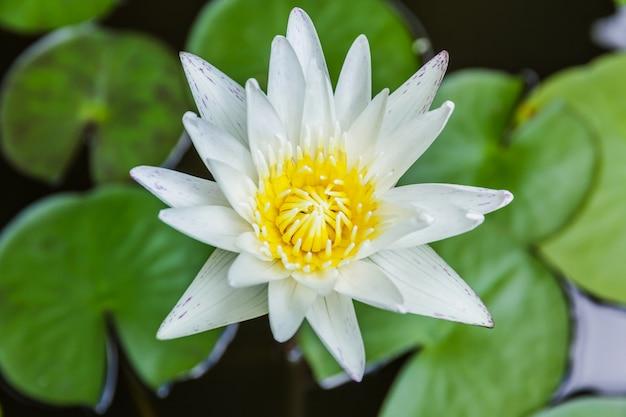 Witte lotusbloem of stroomversnellinglelie in vijver.