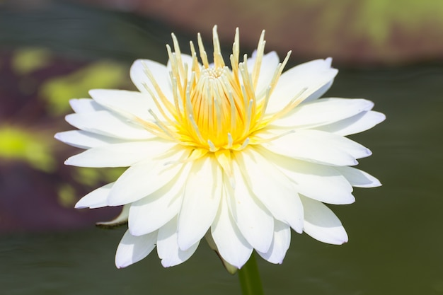 Witte lotusbloembloesems of waterleliebloemen die op vijver bloeien