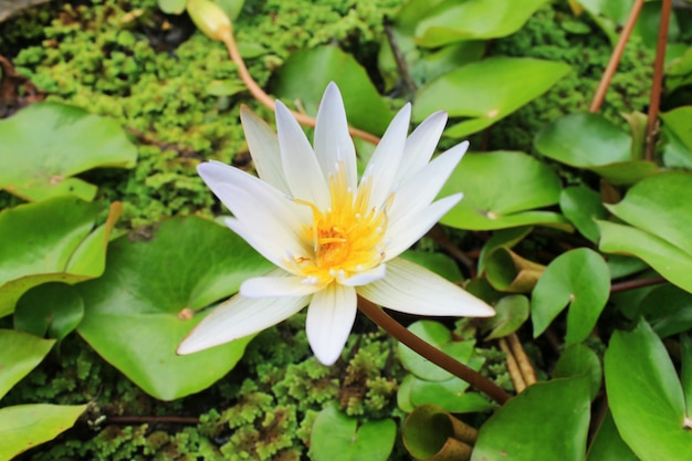 Witte lotusbloemen bloeien