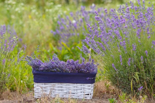 Witte mand met lavendel in het veld