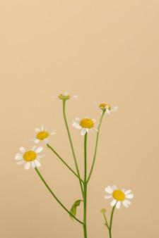 Witte margriet bloemen op beige achtergrond