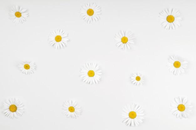 Witte margriet bloemen op lichte achtergrond. gezond medisch of vakantieconcept. hoge bovenaanzicht.