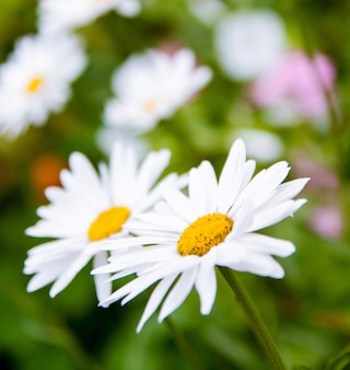 Witte margriet bloemen