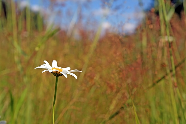 Witte margriet op gele herfst veld
