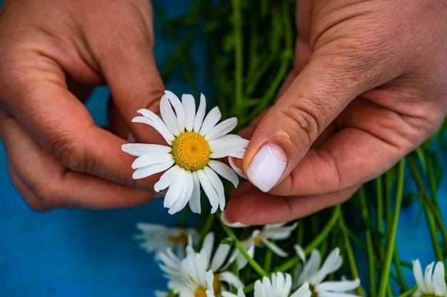 Witte margrietbloemen op handen