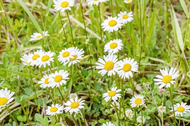 Witte margrieten tegen groen gras