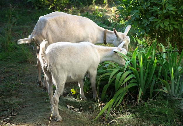 Witte melkgeiten eten gras in de tuin