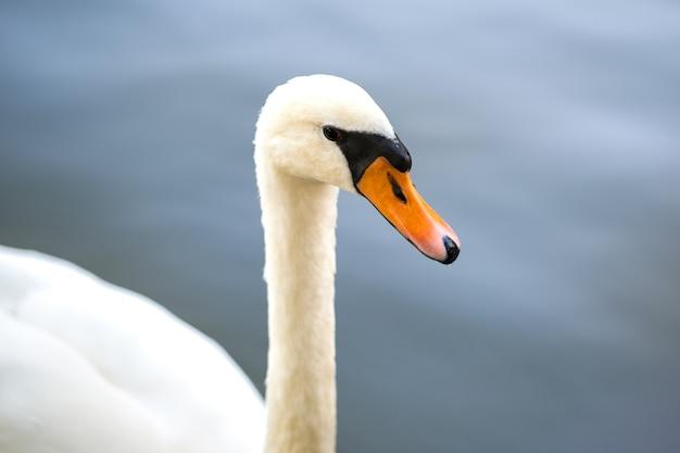 Witte mooie zwaan zwemmen in het meerwater in de zomer.