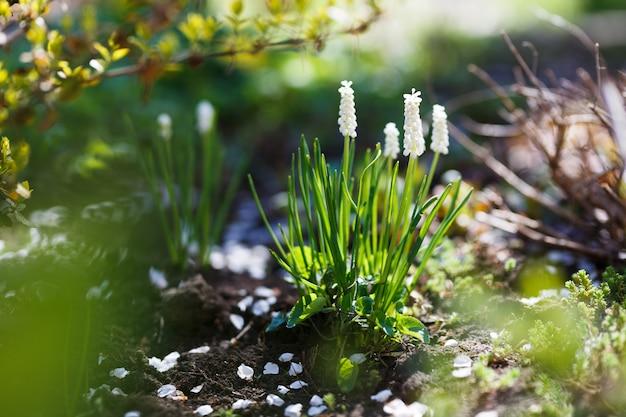 Witte muscari-neggetumbloemen in de lentetuin.