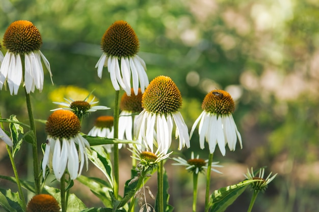 Witte naaldbloemen of echinacea op de tuinachtergrond.