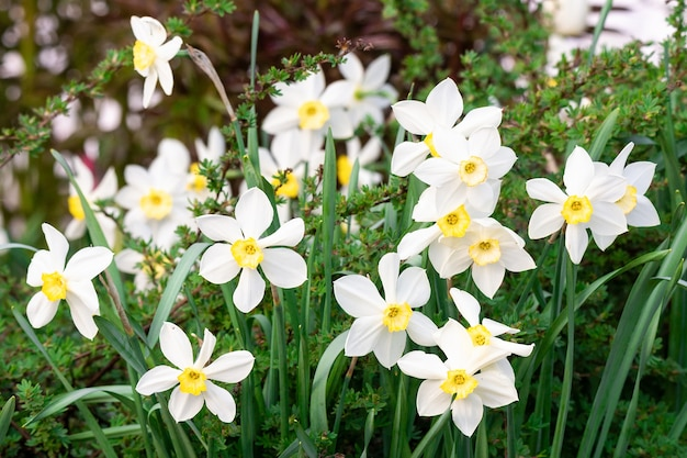 Witte narcis (narcissus poeticus)