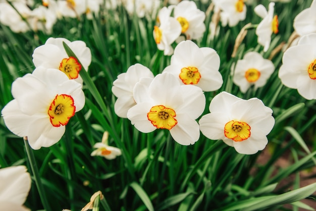 Witte narcissen in de tuinen van holland