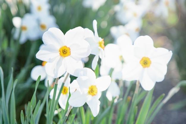 Witte narcissen in het zonlicht