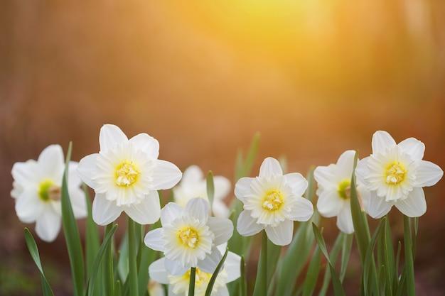 Witte narcissen in zonsonderganglicht. instagram filter.