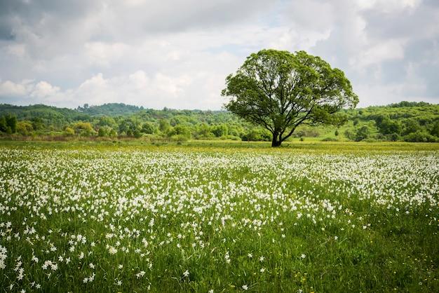Witte narcissen met een groene boom op het veld