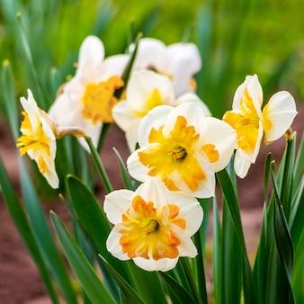 Witte narcissen met een oranje hart in een bloementuin