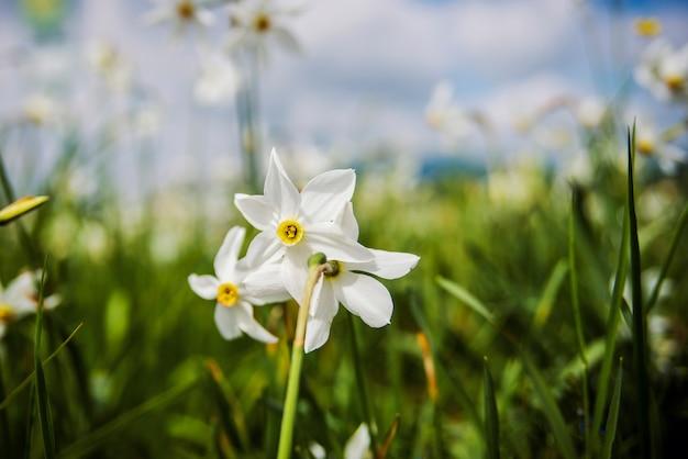 Witte narcissen op het veld