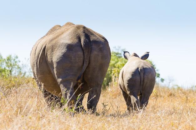 Witte neushoorn vrouw met puppy, hluhluwe park, zuid-afrika.