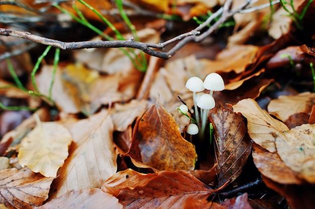 Witte oneetbare paddestoelen op gele bladeren op de herfstbos.