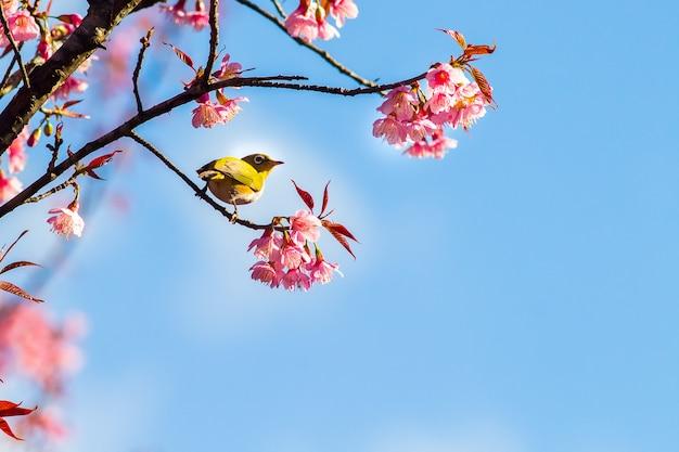 Witte oogvogel op de tak van de kersenbloesem