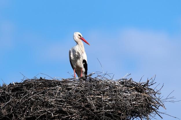 Witte ooievaar (ciconia ciconia) is een grote vogel uit de ooievaarsfamilie ciconiidae op nest in het voorjaar