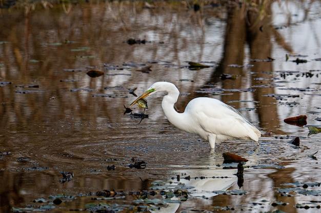 Witte ooievaar die op het water loopt en vis eet