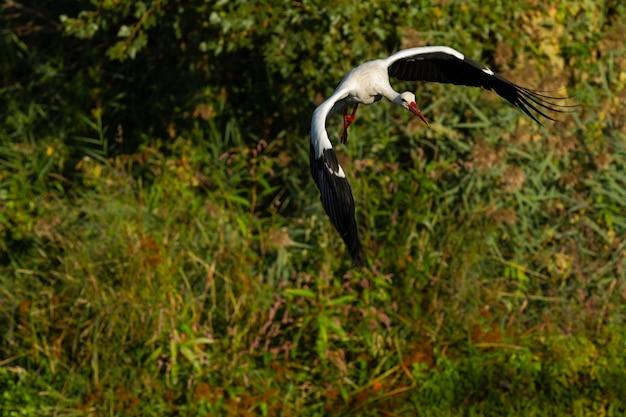 Witte ooievaar die over een rivier vliegt