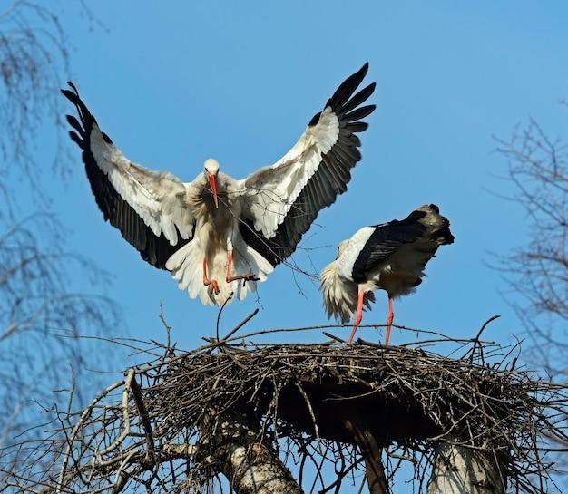 Witte ooievaar op het nest in het voorjaar in hun natuurlijke habitat