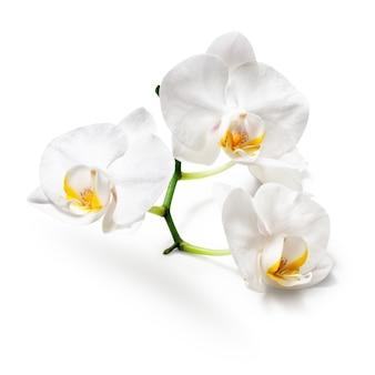 Witte orchidee bloemen geïsoleerd op een witte achtergrond. uitknippad inbegrepen