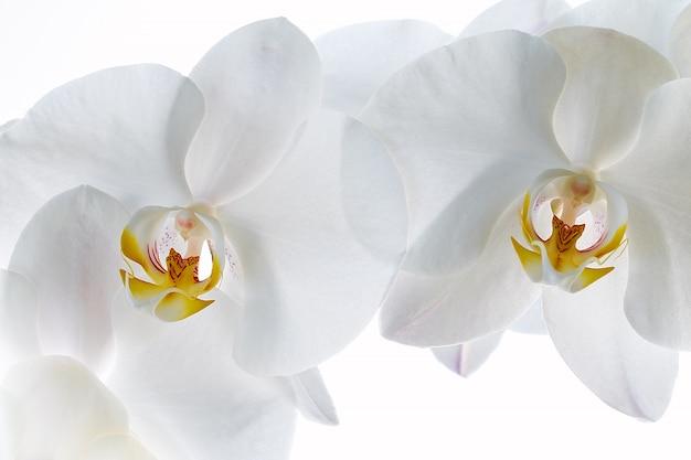 Witte orchidee die op wit wordt geïsoleerd.