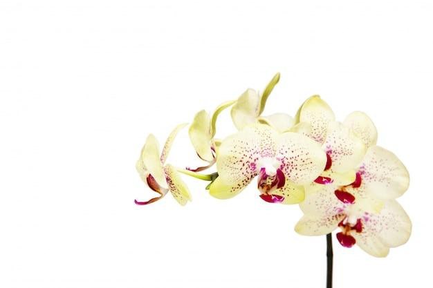 Witte orchidee die op wit wordt geïsoleerd