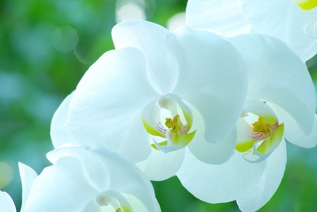 Witte orchidee geïsoleerd op groene achtergrond
