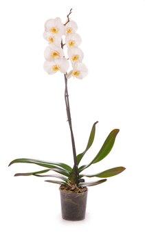 Witte orchidee in een bloempot op wit wordt geïsoleerd.
