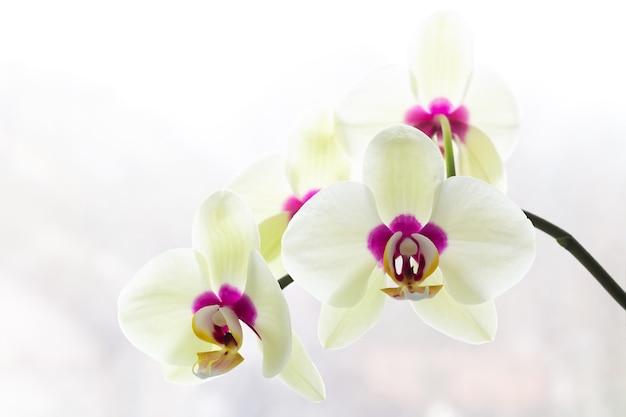 Witte orchidee op een lichte achtergrond, florale achtergrond