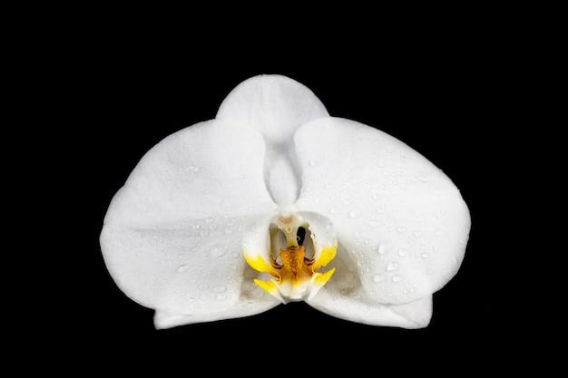 Witte orchidee op zwarte achtergrond.