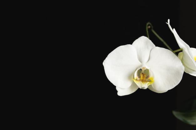 Witte orchideebloem op de zwarte achtergrond.