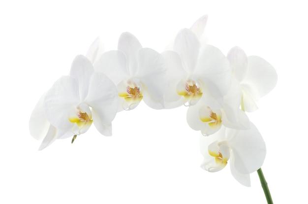 Witte orchideeën bloem geïsoleerd op wit