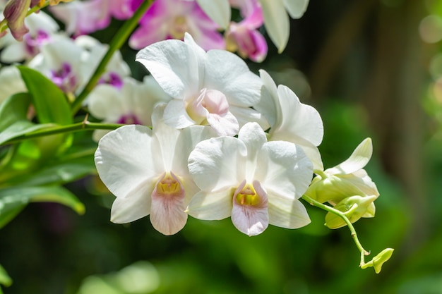 Witte orchideeën, dendrobium.